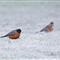 Frosty Robins