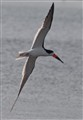 Black Skimmer Making the Turn