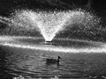 Mallard by a fountain