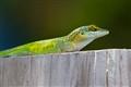 Here Lizard Lizard Lizard