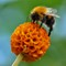 White tailed bee on golden ball buddleja