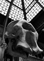 Elephant cranium