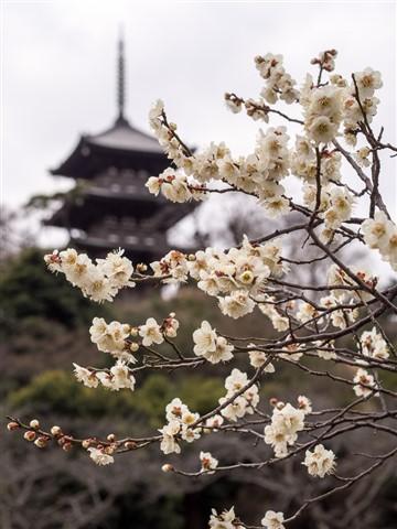Plum Blossoms at the Sankeien Garden