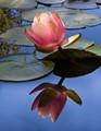Lily, Lily, Beautiful
