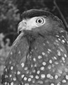 Serpent Eagle (Second Version)