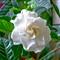 Gardenia # 13