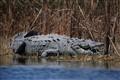 Wild American Crocodile