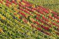 Autumn Colours of Wine