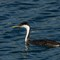 Sharper Grebe