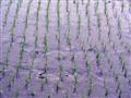 Vitnam - ricefields
