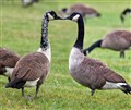 Kissing geese