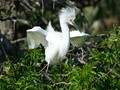 Baby great white egret testing it's wings and standing tall.