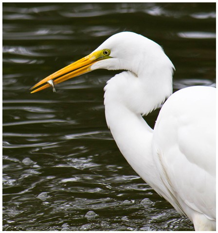 Great White Egret and Fish 01