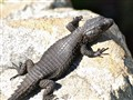 African lizard on the South African Cape