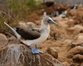 B for Blue Footed Booby