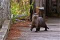 OtterOutOfWater