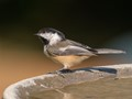Blackcapped Chicadee
