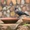 !ndian_crow