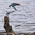 Tree Swallows going at it.