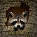 Raccoon Hideout