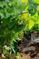 Ribeira Sacra vines, río Sil valley, Galicia