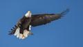 B.C. Eagle