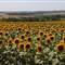 summer-2011-07-09-IMG_6098-sunflower