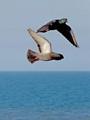 Feral pigeons in flight (Columba livia domestica) - Flagler Beach, FL, USA - Date taken - 03/01/17, 4:47 PM - Photo ID - DSCF2447b - Camera - FinePix X-S1 © 2017