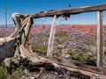 Antelope Valley Poppy Preserve