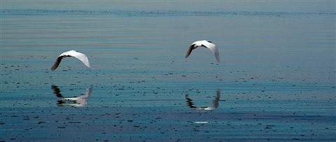 flying-egrets