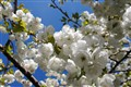 blossoms near home