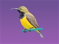 Sunbird on purple merged 1024