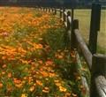 Poppy Fences