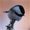 Chickadee_8273
