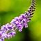 Gorge Power Plant Lavender