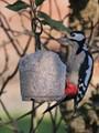 Male Gt. Spotted Woodpecker Pecking at Suet Cake.