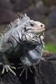 iguana11