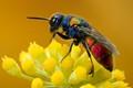 Tiny Cuckoo Wasp