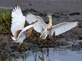 Bird Fight Web