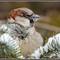 Sparrow on a pine tree 5