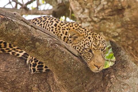 leopard srgb