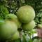 Suha: Pumelo fruit in our backyard garden, Mililani HI.
