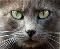 Grey Cat (Cropped)