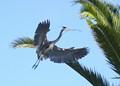 Great Blue Heron Doing Nest Mainenance