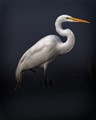 Beautiful Egret at Sacramento Wildlife Refuge