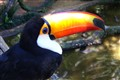Brazilian Tucano bird - orange beak