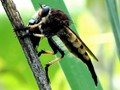 Robber fly.