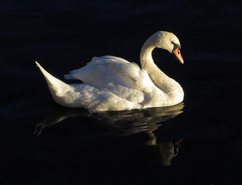 Swan dp