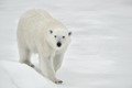 svalbard polar bear on ice floe