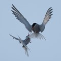 Tern fight-1